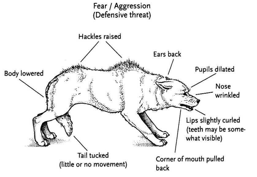 Graphic explaining fear-aggressive dog posture