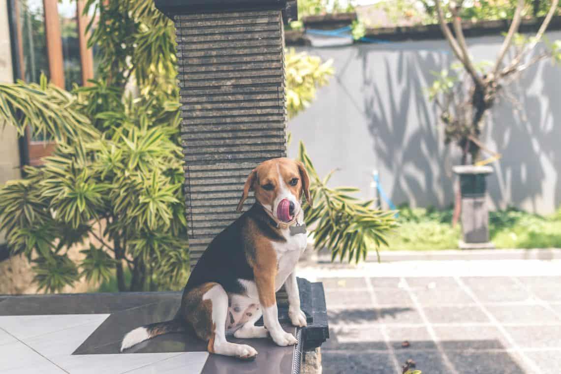 Beagle sitting in a lazy dog sit.