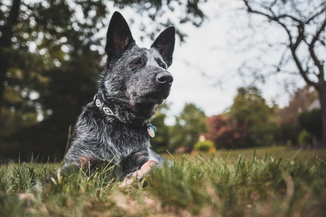 Grey Australian Stumpy Tail Cattle Dog laying in the grass.