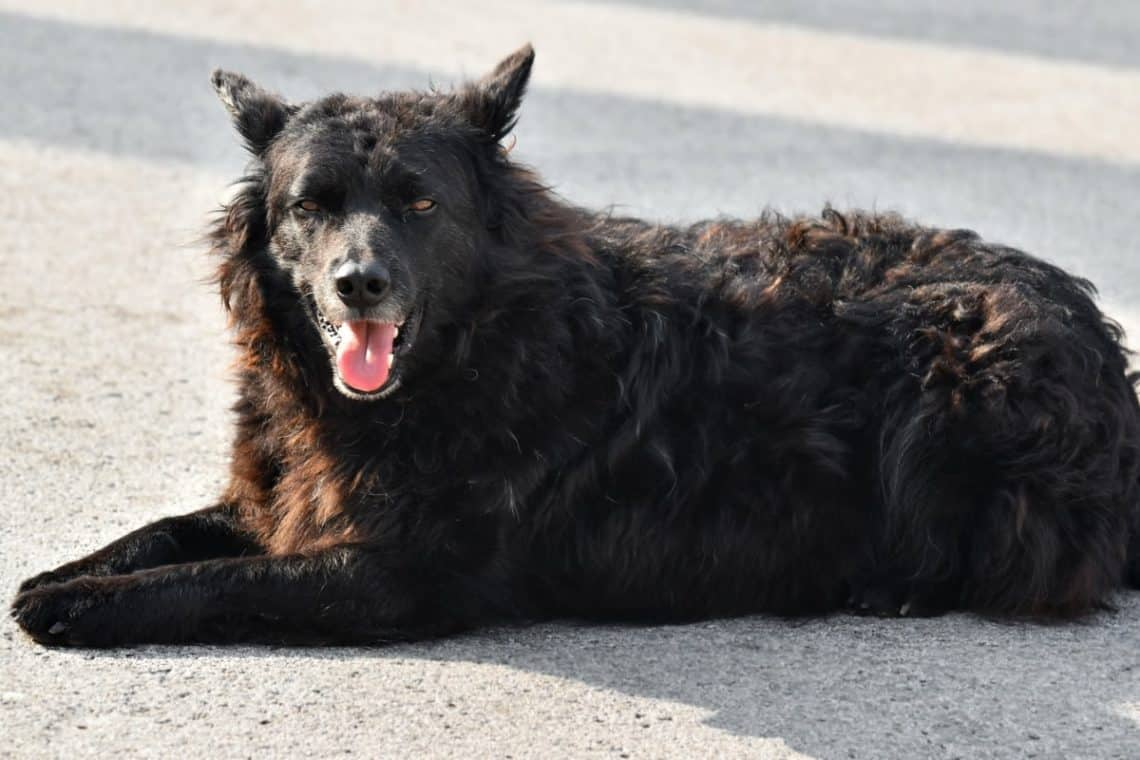 Croatian Sheepdog sunbathing on the pavement.
