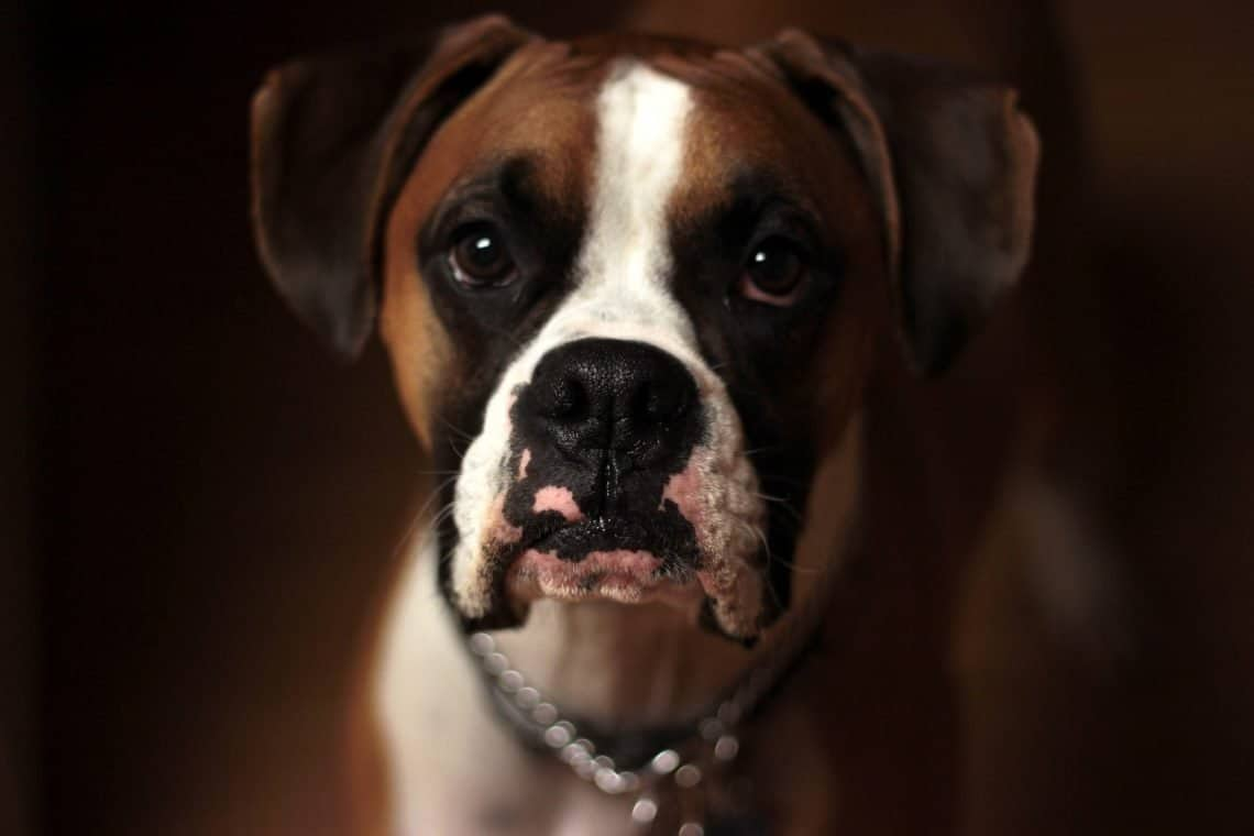 Boxer dog in fear, surrounded by darkness.