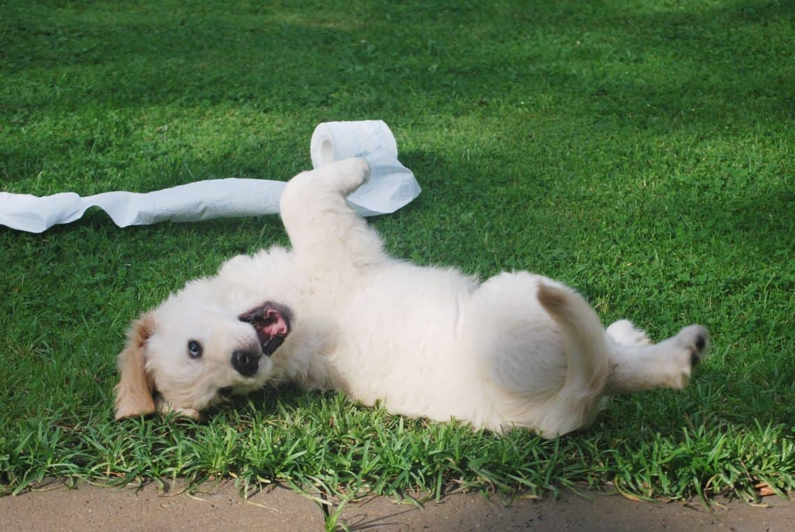 White puppy rolling in grass with a toilet paper roll.