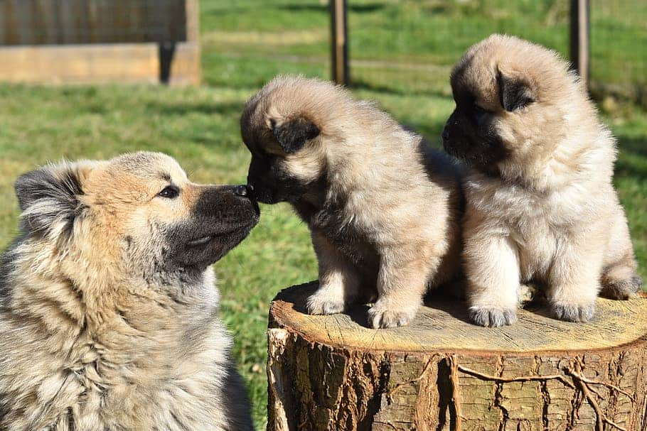 Adult dog nursing two puppies sitting on a log