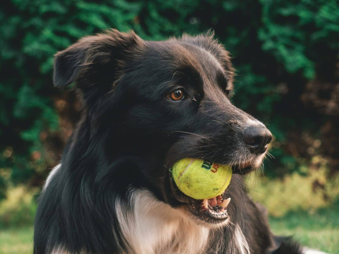 Dog holding tennis ball in his mouth with dog lips exposed
