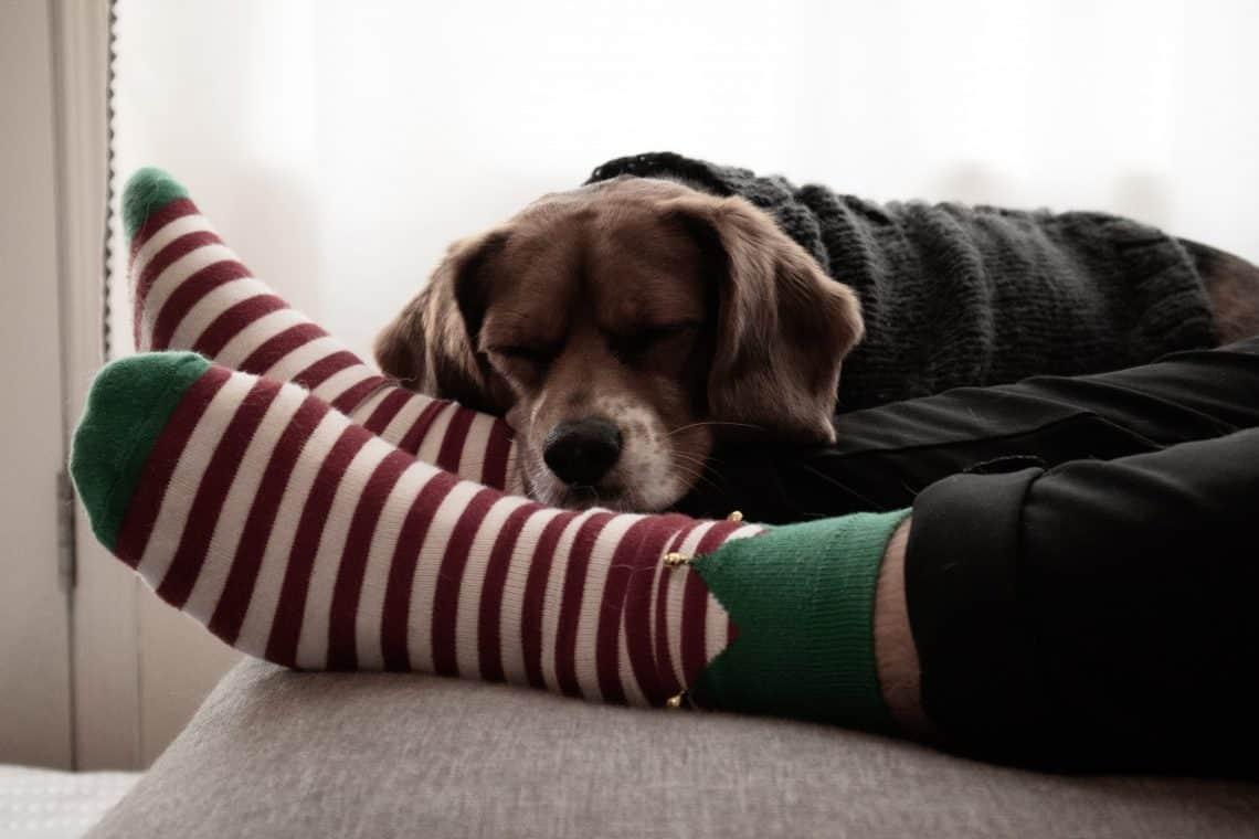 Dog resting on socked feet