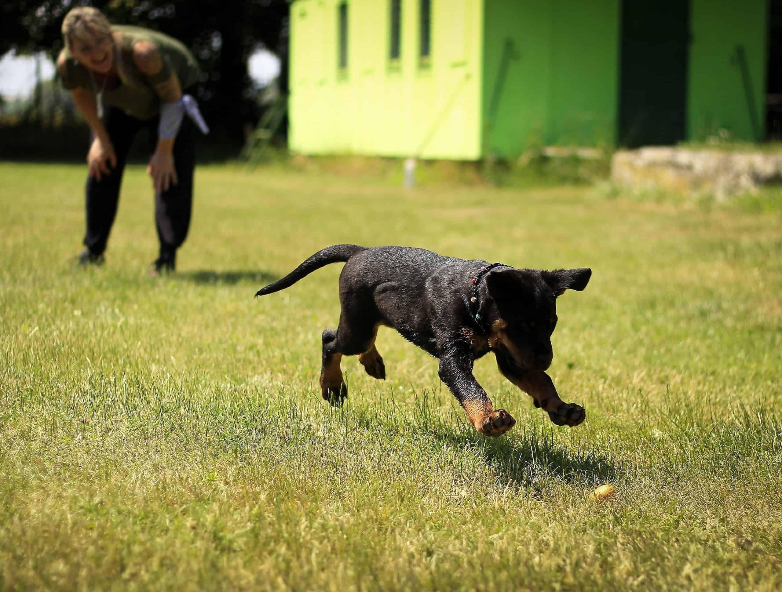 Woman teaching a Rottweiler puppy fetch